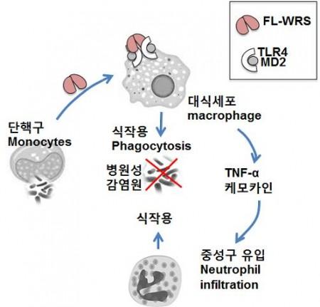 감염이 일어나면 가장 먼저 단핵구가 RWS를 분비한다.  - 미래창조과학부 제공