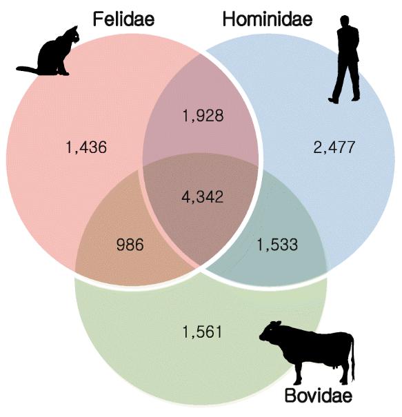 고양잇과, 사람과, 소과의 게놈에서 보존도가 높은 유전자를 나타낸 벤다이어그램. 육식동물인 고양잇과에 특이적으로 보존도가 높은 유전자 1436개 가운데 다수는 시각과 신경 등 사냥에 필요한 기능에 관여한다. - 게놈 연구 제공