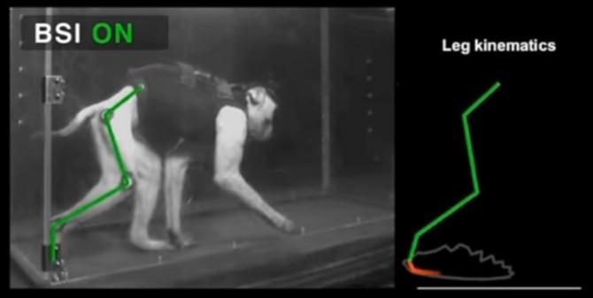 척수신경에 손상을 입은 원숭이의 뇌와 척수에 전극을 이식하자 정상적인 걸음걸이를 회복했다. 재활에 성공한 원숭이의 모습(왼쪽)과 다리 움직임을 분석한 자료(오른쪽). - 로잔연방공대 제공