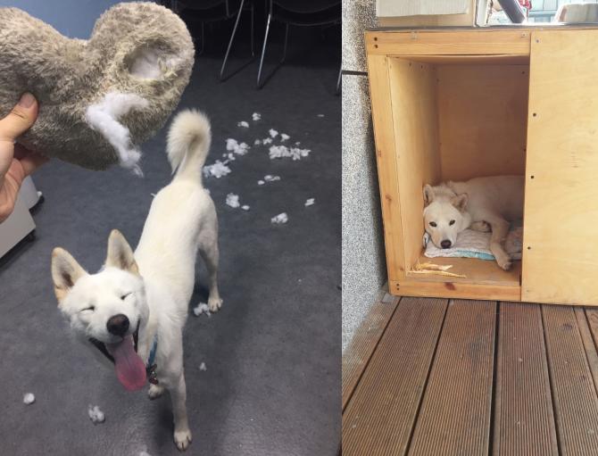 개가 아프지 않을 때(왼쪽)과 아플 때(오른쪽)는 이 정도로 활동량이 차이가 납니다. 오른쪽은 지난 여름 개도 안 걸린다는 여름감기에 걸렸을 때지요. - 오가희 기자 solea@donga.com 제공