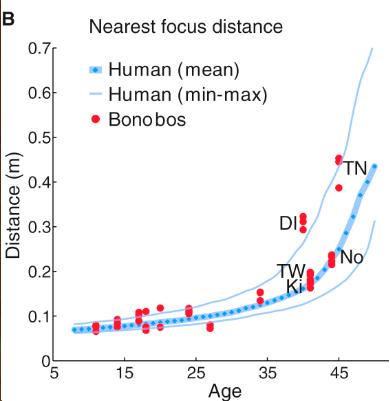 나이에 따른 보노보의 털 고르기 거리 데이터(빨간 점)는 사람의 최근접 초점거리 그래프(짙은 파란선은 평균, 옅은 파란선은 각각 최댓값 최솟값)의 범위 안에 들어온다. 즉 둘의 공통조상이 갈라진 이후 사람에서 노안 진행 속도의 진화는 없었음을 시사하는 결과다. - 커런트 바이올로지 제공