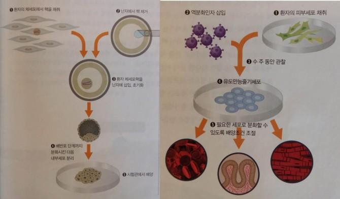 왼쪽이 체세포 배아줄기세포 제작과정, 오른쪽이 유도만능줄기세포(iPS) 제작과정. - (주)동아사이언스 제공