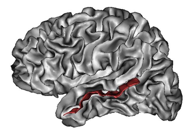 붉은 부분으로 표시된 상측두고랑(superior temporal sulcus)은 인간의 복잡한 사회적 상황에서의 메타표상을 중재하는 부분으로 간주되고 있다. - Lefèvre J, Mangin J-F - Lefèvre J, Mangin J-F (2010) 제공