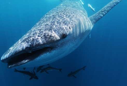 바닷물 분석해 희귀동물 '고래상어' 개체수 알아냈다
