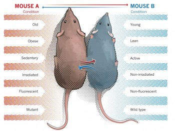 연구진이 2005년 진행한 실험은 신체 일부를 봉합해 혈액과 조직 모두 교환한 상태에서 쥐가 성장했다. - UC버클리 제공