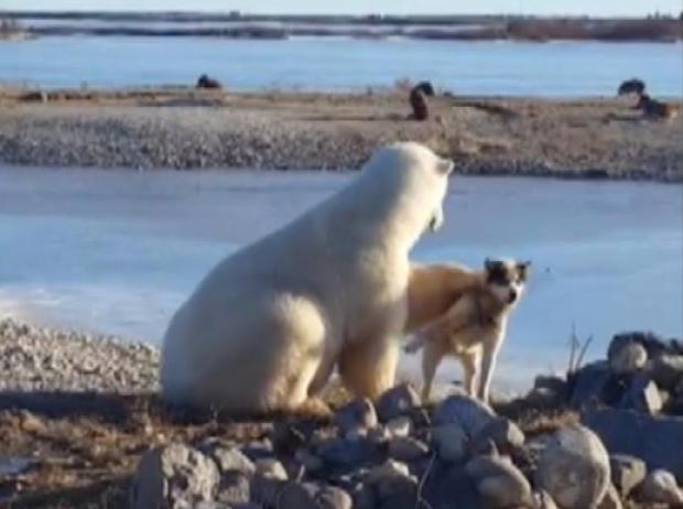 캐나다 마니토바주 북부 지역에서 북금곰이 나타나 주민이 키우는 개 옆에 머무르며 머리를 쓰다듬는 듯한 행동을 보였다. - CBCNews 제공