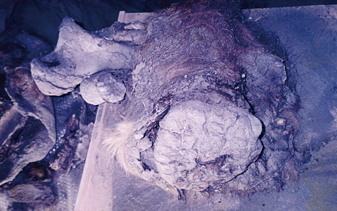 박희원 관장이 발굴한 매머드 다리 화석. 피부와 털이 그대로 남아 있다. - 국립문화재연구소 제공