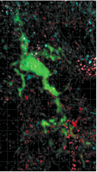 미세아교세포(녹색)가 뉴런 사이의 시냅스 가지치기 과정에서 식작용을 하는 장면. 불필요한 시냅스 조각(빨간색과 파란색)을 먹어치우고 있다.  - 뉴런 제공