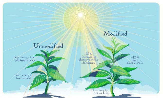 광합성율을 높인 GM 식물은 대기 중 이산화탄소를 더 많이 흡수하면서 더 빠르게 성장한다. - Graphic by Julie McMahon 제공