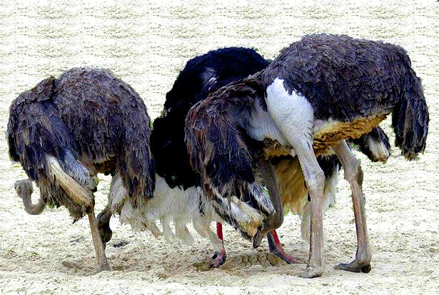 종종 타조는 포식자를 만나면, 머리를 모래에 파묻는다고 알려져 있다. 고통스러운 현실을 외면하고, 문제가 마술적으로 해결될 것이라는 믿음을 흔히 집행유예 망상이라고 한다. 실제로 타조가 땅에 머리를 박는 이유는, 둥지 속의 알이 잘 부화되도록 뒤집으려는 '합리적' 행동이다. - Fwaaldijk (2010) 제공