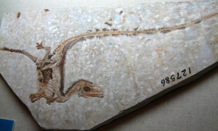 지난 1996년 중국 랴오닝 성에서 최초로 발견된 깃털 달린 공룡의 화석
