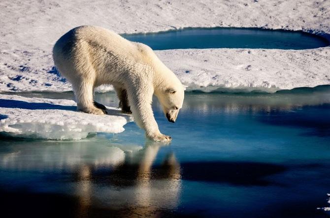북극곰이 바닷물이 얼만큼 얼었는지 확인해보고 있다. - 마리오 호프만 제공