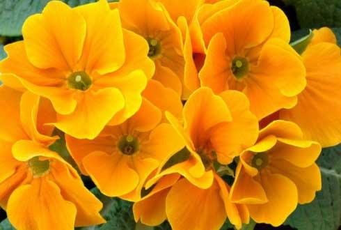 다윈이 사랑한 '앵초 꽃 '의 비밀 풀렸다