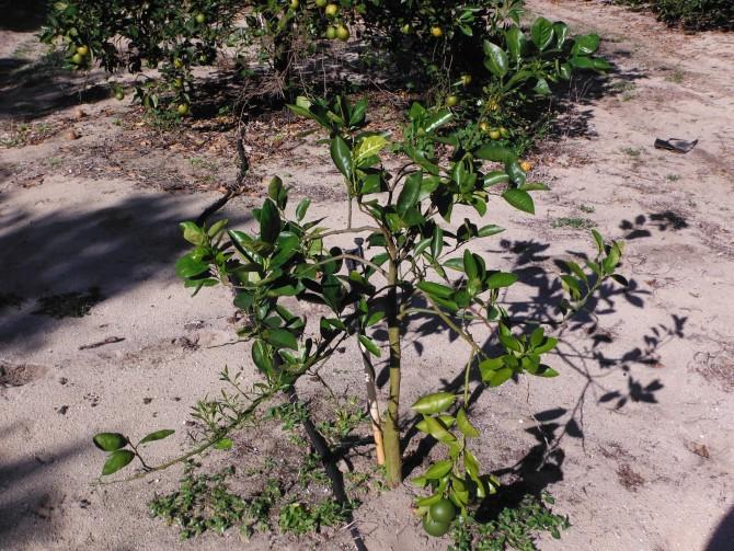 녹화병에 전염된 밀감류 나무 - Mmacbeth(W) 제공