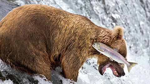 [코미디 야생동물 사진전] 연어가 야생곰 어깨에 박히는 순간 포착