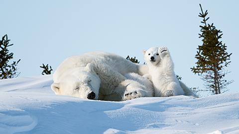 [코미디 야생동물 사진전] 카메라 보고 인사하는 아기 북극곰