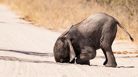 [코미디 야생동물 사진전] 바닥에 코박은 아기코끼리