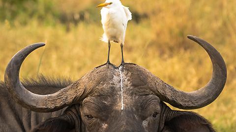 [코미디 야생동물 사진전] 물소 머리에 똥 싼 물새
