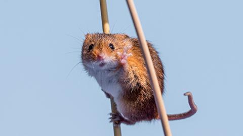 [코미디 야생동물 사진전] 기둥 사이에서 균형잡는 들쥐