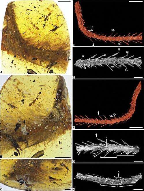 멸종된 9900만 년 전 육식공룡의 것으로 추정되는 꼬리 화석. 미얀마 북동부에서 발굴된 호박에서 발견됐다. - 커런트 바이올로지 제공