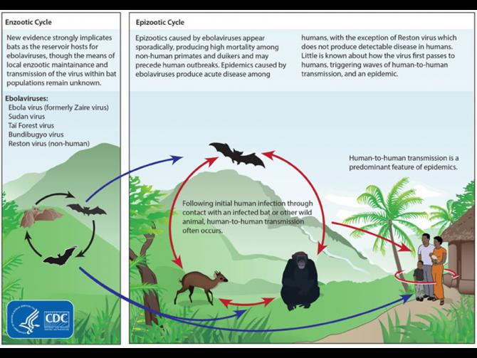 에볼라 바이러스의 추정 감염 경로. 박쥐에게 상재하는 에볼라 바이러스가 우연한 기회에 비인간 영장류나 다른 동물에 감염 된 후, 인간에게도 옮겨진 것으로 추정하고 있다. - 미 질병예방통제센터 제공