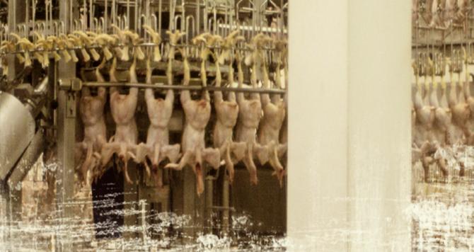 공장식 사육은 육류 생산량을 극대화 시켰다. 하지만 가축에 대한 비인도적인 밀집 사육은 가축 전염병의 창궐 및 신종 전염병의 출현 등 보다 큰 문제를 야기했다. - 과학동아, 낙타와 메르스 제공