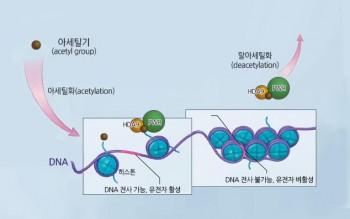 뉴클레오솜은 히스톤 단백질(하늘색 원) 8개가 DNA(보라색 선)에 감긴 형태다. - IBS 제공