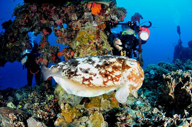 갑오징어가 주변의 환경과 흡사한 보호색으로 위장을 하고 있다. - 제임스정 제공