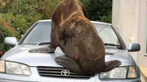 차를 깔고 앉은 200kg 바다표범