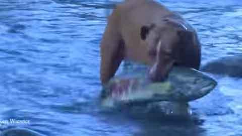 대형 연어를 잡는 개