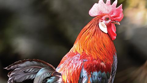 60년에 한 번 오는 붉은 닭의 해 길들여지지 않는 새, 이클립스 깃털을 찾아서