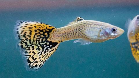 물고기 구피의 수학 실력은 후천적
