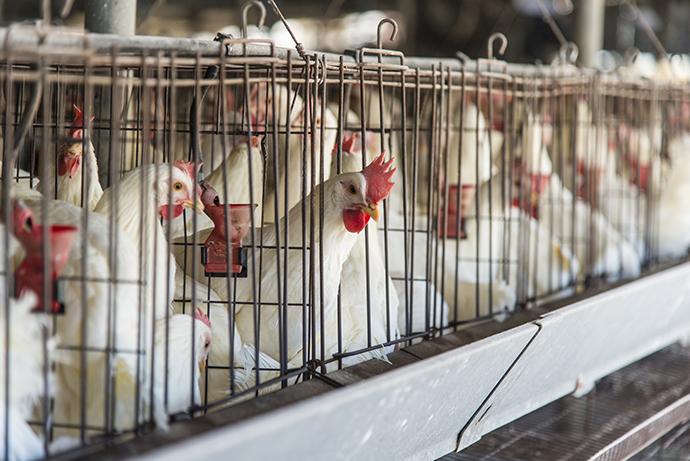 우리나라에서 산란계를 키우는 농가의 95%는 아파트형 우리에서 닭을 기릅니다. - GIB 제공