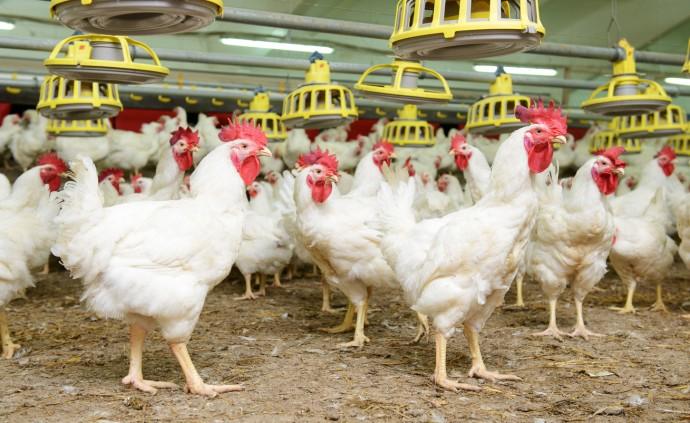 닭은 빛과 온도에 매우 민감한 동물이다. - GIB 제공