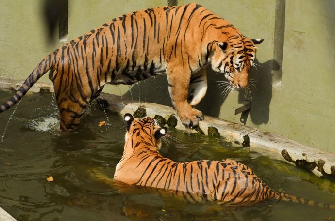 태국의 한 동물원에서는 조류독감에 걸린 닭고기를 먹은 호랑이가 독감에 걸려 죽은 사건이 있었다. - GIB 제공