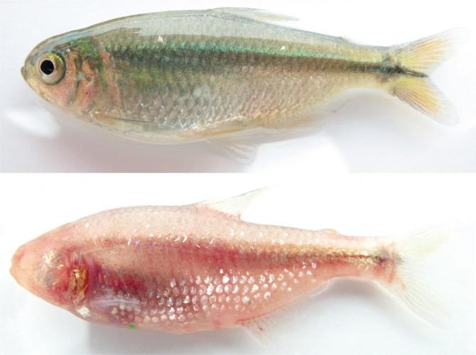 중미의 작은 민물고기 아스티아낙스 멕시카누스(위)는 어쩌다 강에서 빛이 들어오지 않는 동굴로 들어와 눈이 없는 동굴물고기(아래)가 됐다. 2013년 린드퀴스트는 이 과정에 열충격단백질(Hsp90)이 관여한다는 사실을 밝혔다. - 사이언스 제공