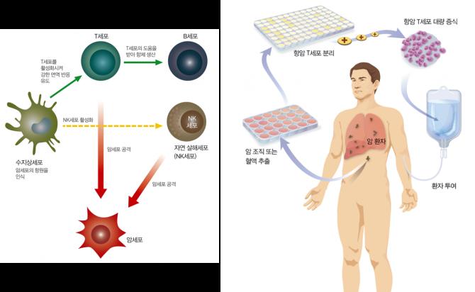 암 치료에 효과가 있는 면역세포로는 자연 살해세포(NK세포), 수지상세포, B세포, T세포 등 4가지가 연구되고 있다. 이 중 T세포는 최근 면역학자들 사이에서 가장 큰 관심을 모으고 있다. - (주)동아사이언스 제공