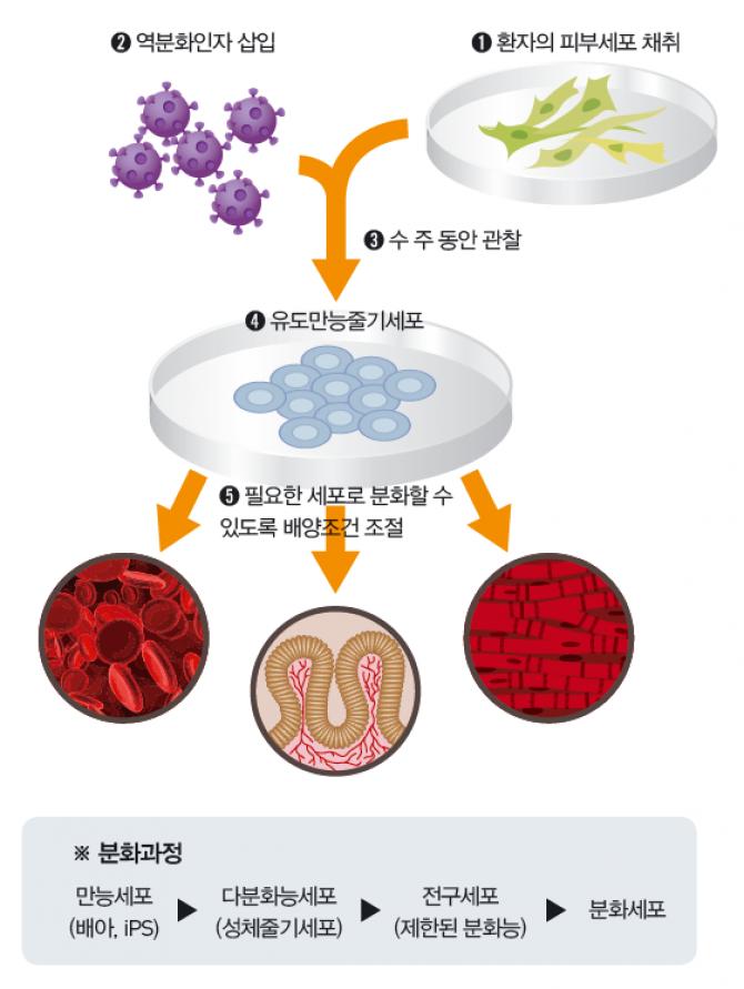 배아에서 많이 발현되는 4가지 인자를 골라 분화된 세포에 넣고 자극을 주면 배아줄기세포처럼 만능성을 가진 세포로 바뀐다. 윤리적인 문제는 없지만, 체세포복제 배아줄기세포보다 암을 만들 위험성이 높다. - (주)동아사이언스 제공