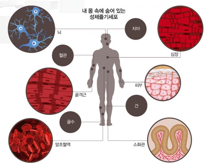 성체줄기세포는 골수나 혈액 등 우리 몸 곳곳에 소량씩 존재하는 줄기세포다. 배아줄기세포처럼 모든 조직으로 분화하는 능력(만능성)은 없지만, 여러 조직으로 분화하는 능력(다분화능)을 가지고 있다. 무릎 연골이 닳아 없어지거나, 척수가 손상됐을 때 환자의 줄기세포를 이용하면 면역거부반응 없이 치료할 수 있다. 현재 줄기세포 치료제 임상연구의 97%가 성체줄기세포를 이용한다.  - (주)동아사이언스 제공