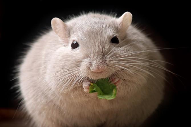 솅 딩 미국 글래드스톤연구소 선임연구원팀은 피부T세포림프종을 치료하는 데 쓰이는 항암제 '벡사로틴'에서 백색 지방세포를 갈색 지방세포로 바꿔 주는 효능을 발견했다. 벡사로틴을 처방받은 쥐는 그렇지 않은 쥐에 비해 갈색 지방의 비율이 높고, 신진대사량이 20%가량 늘어난 것으로 확인됐다. - 버클리 캘리포니아대 제공