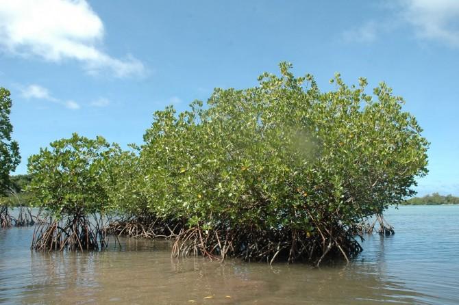 염생식물인 맹그로브. 주로 해안가에서 자라는 맹그로브의 뿌리는 염분인 나트륨 이온을 필터링 할 수 있는 기능을 갖고 있다. 국내 연구진은 이를 모방해 경제적인 해수 담수화 기술을 개발했다. - 플래닛 프로젝트 제공