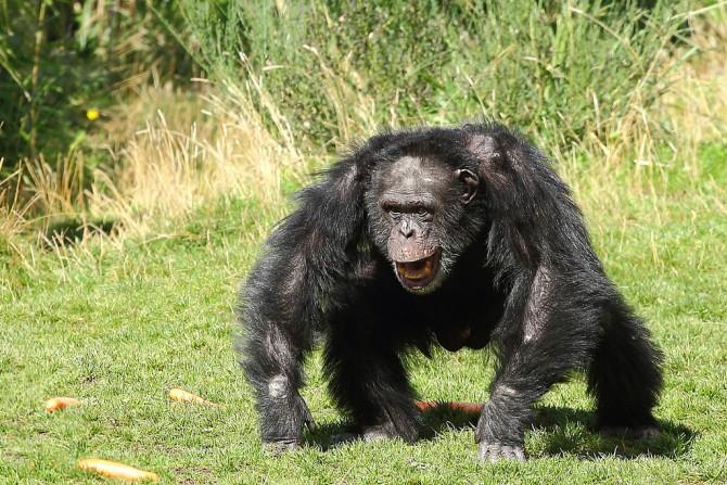 분노한 침팬지. 원시적 힘이 지배하는 동물의 세계에서는 위압적인 분노가 생존상의 이득을 가져다 줄 수 있다. 그러나 문명화된 현대 사회에서 원초적인 분노 표현은 전혀 유리하지 않다.  - Junk Food Monkey (2013) 제공