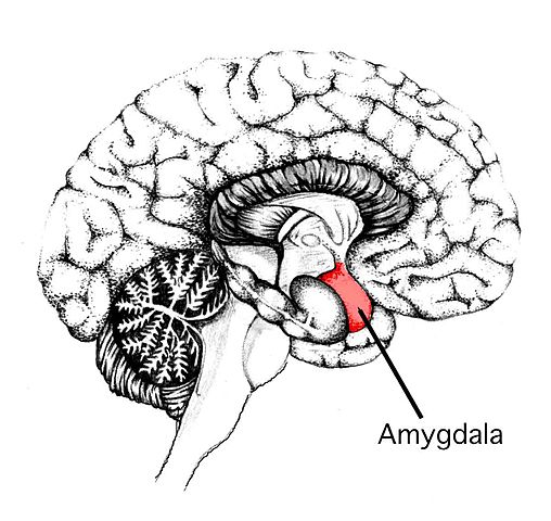 편도핵. 옆머리 안쪽에 위치한 작은 편도핵은 불안과 공포 반응을 매개하는 핵심 중추이다.  - http://www.memorylossonline.com/glossary/images/amygdala.jpg  제공