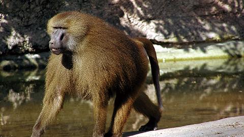 개코원숭이도 모음을 말할 줄 안다?
