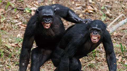 수컷 침팬지가 모르는 암컷의 냄새를 더 좋아하는 이유