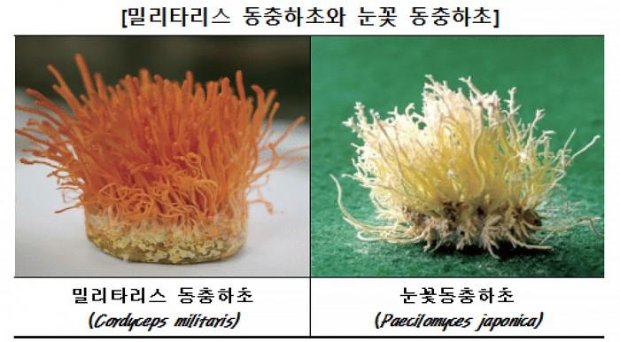 동충하초 - 한국소비자원 제공