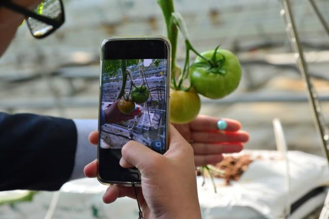 24일 천안 송남리에 위치한 한국과학기술연구원(KIST) 토마토 시범 농가에서 한 연구원이 스마트폰 애플리케이션(앱) '작물 생육측정 기반 스마트팜 2.0'을 이용해 토마토 사진을 찍고 있다. 이 앱은 사진에서 자동으로 과실의 크기, 줄기 길이 등을 인식해 측정한다.