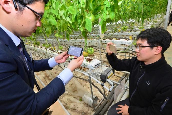연구원들이 '작물 생육측정 기반 스마트팜 2.0' 앱으로 수집한 토마토의 생육 정보를 토대로 예측한 수확량 그래프를 살펴 보고 있다. - 한국과학기술연구원 제공
