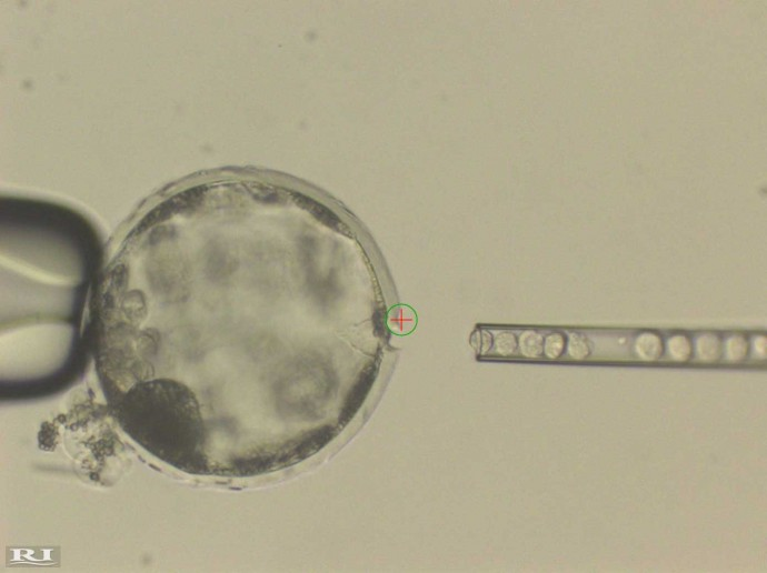 돼지의 배아에 인간 다능성줄기세포를 삽입하고 있는 모습.  - 셀 제공