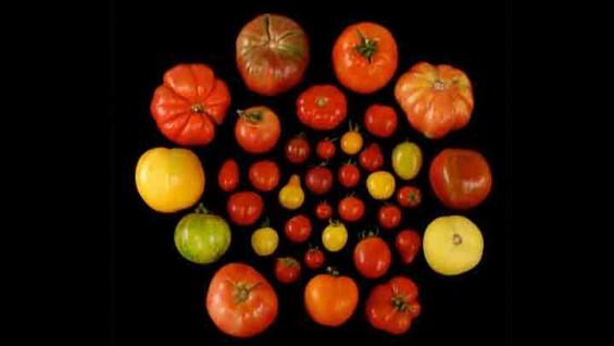 [표지로 읽는 과학] 더 달달한 토마토를 만들 수 있다?
